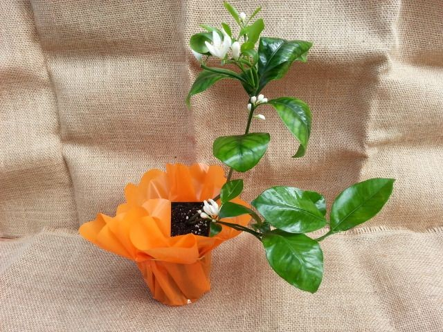citrus mitis calamondin kalamondyna sklep nasze. Black Bedroom Furniture Sets. Home Design Ideas