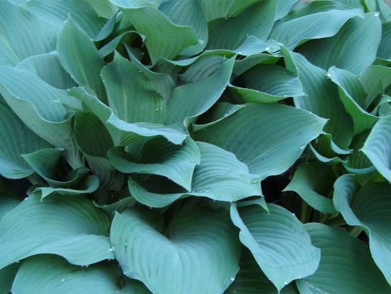HOSTA - FUNKIA MOUSE EARS