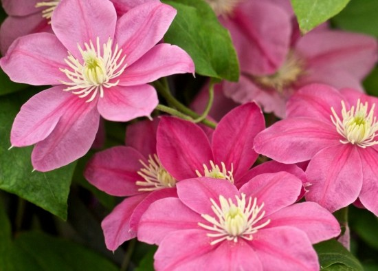 CLEMATIS POWOJNIK LITTLE MERMAID P9